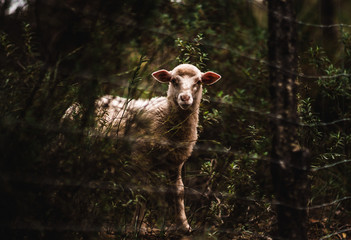 white sheep on the forest