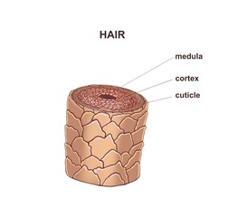 Illustration of the healthy hair construction