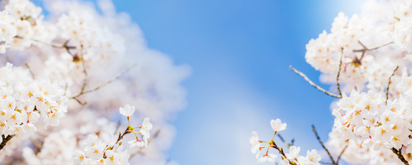 Blurred white sakura and cherry flowers blossom in spring landscape garden in blue sky banner background with copy space.