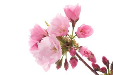 Foto op Plexiglas Azalea 咲き始めの旭山桜