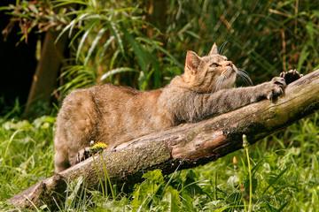 Foto auf AluDibond Katze Europese wilde kat rekt zich uit