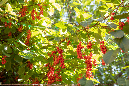 Liana Schisandra Chinese with clusters of ripe berries against sunlights
