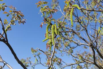 Inflorescence of a walnut.