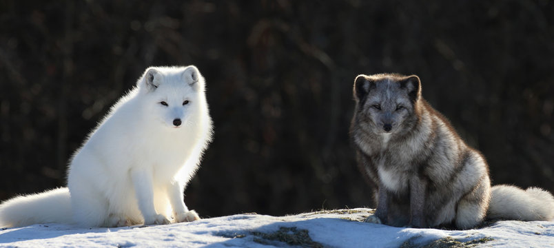 two arctic fox in nature during winter