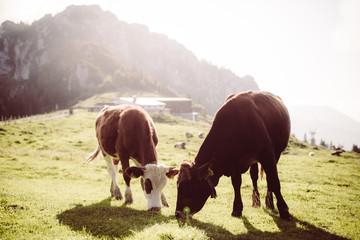 Kühe Fressen Grasen Gegenlicht Wall mural