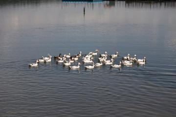 Ducks swim in a river in the sunny day.