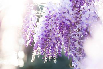 Fotomurales - Beautiful wisteria flowers blooming in spring garden. Wisteria trellis blossom in sunset park.