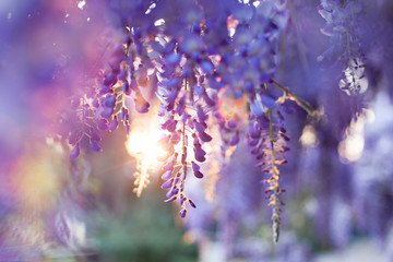 Wisteria flowers blooming in garden. Beautiful lilac, purple and violet trellis blossom at sunset. Spring park.