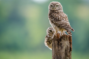 Fototapete - Pair of Perched Little Owls