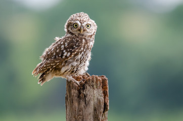 Fototapete - UK Wild Funny Perched Little Owl