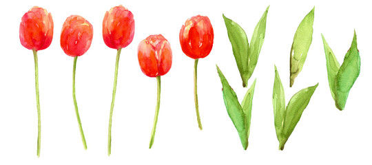 Red tulip Flower elements clip art isolated on white background watercolor painting hand painted for card, wall art, poster or your design