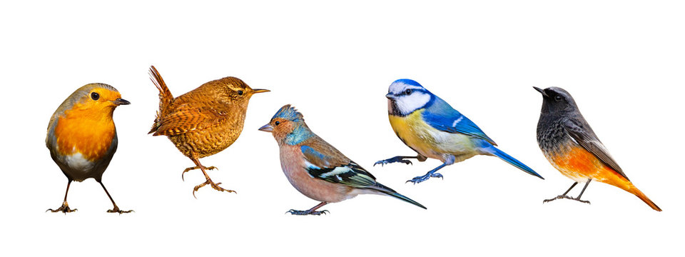 Isolated bird set. White background. Birds: Robin, Wren, Chaffinch, Blue tit, Black Redstart.