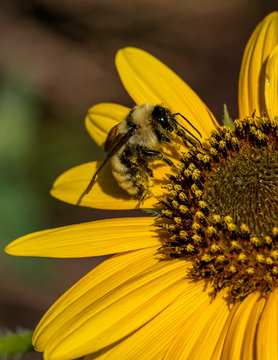 Bee pollinating a flower in Arvada, Colorado