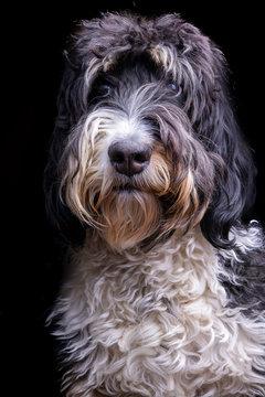 Bernese Mountain Dog Standard Poodle Mix First Degree Tri Tone Fur Coat