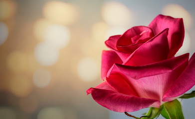 Single Pink Rose with Warm Lights in Background