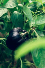 Close up of homegrown organic black sweet peppers growing in a vegetable greenhouse garden. Unusial strange veg