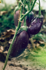 Close up of homegrown organic eggplant growing in a vegetable greenhouse garden.