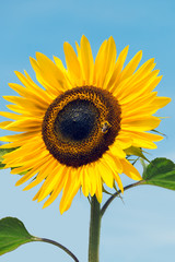 Close up of homegrown organic sunflower growing in a vegetable garden against bright blue sky