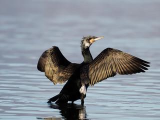 Fotoväggar - Great cormorant,  Phalacrocorax carbo