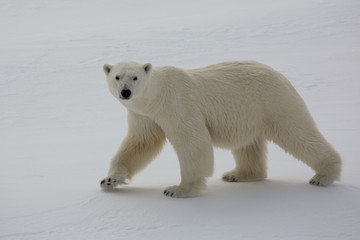 Female polar bear hunting on sea ice threatened by climate change