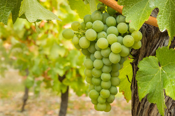 closeup of ripe bunch of Sauvignon blanc grapes growing on vine in organic vineyard