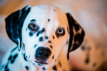 Beautiful Blue and Brown eyed Dalmatian Puppy