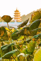 View at Lotus Lake Between Leaves / Leaves of lotus water plant at lake with asian nostalgic architecture background in vintage yellow light