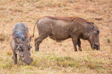 A pair of Warthogs walking in the Masai Mara National park, Kenya, Africa.