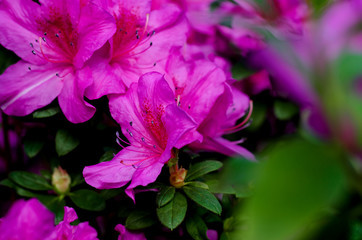 Keuken foto achterwand Azalea Beautiful vibrant azalea flower tree blooming in the botanical garden, in Kyiv. Bright flowers Close up.