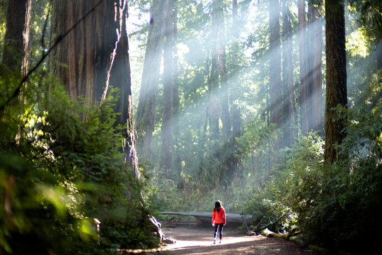 Light Sunlight through redwood trees on a path in the redwood forest