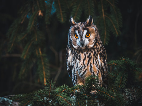 Long-eared owl (Asio otus) sitting on the tree. Beautiful owl with orange eyes. Dark background. Long-eared owl in forest.
