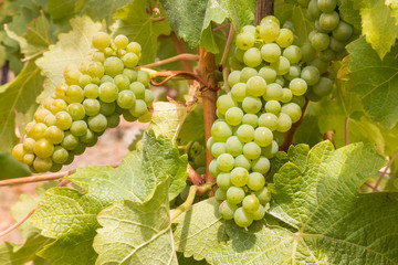 bunches of ripe white seedless grapes on the vine growing in organic in vineyard