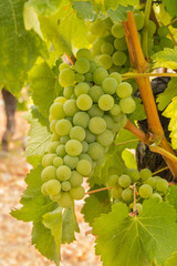 bunch of ripe organic green seedless table grapes in vineyard