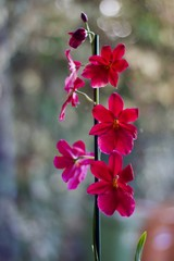 Beautiful portrait image of red pink orchid flowers on stem