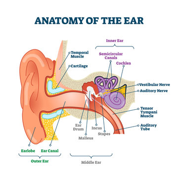 Anatomy of the ear, labeled health care vector illustration diagram