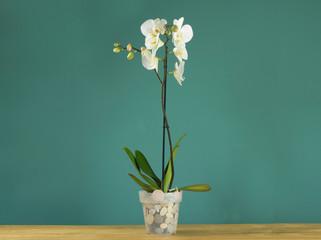 Canvas Prints Orchid orchidee bianche e viola, piante d'appartamento sul tavolo