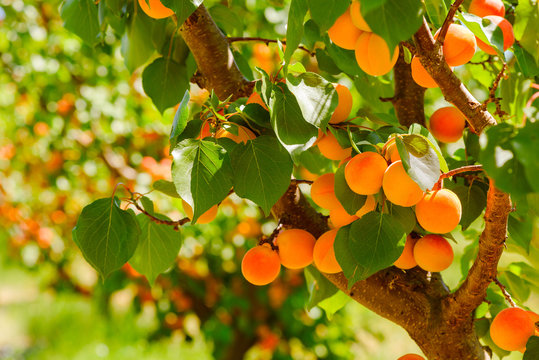 Ripe apricots on a tree in orchard