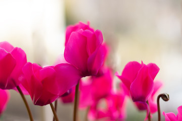 Poster Rose Cyclamen flowers in a homey flowerpot, pink, purple, and white.