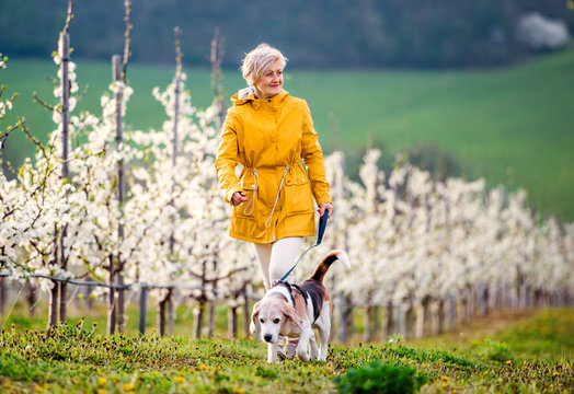 A senior woman with a pet dog on a walk in spring orchard.