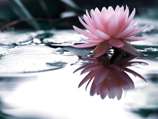 Garden Poster Lotus flower Beautiful pink lotus flower, lily water in a pond