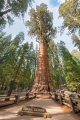General Sherman Giant Sequoia