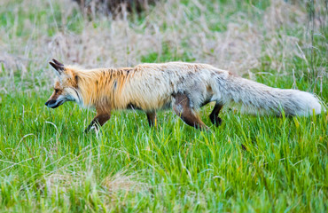 Red Fox in Yellowstone National Park