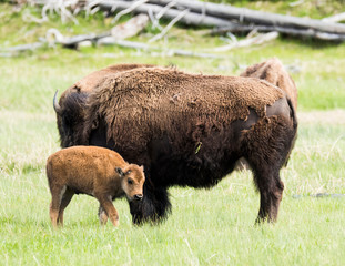 Buffalo mum and baby in Yellowstone