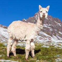 Poster Lama llama or lama on mountains