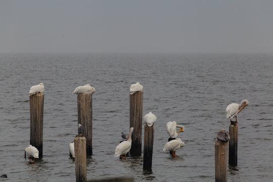 American white pelicans (Pelecanus erythrorhynchos) roosting on the Texas coast near Houston