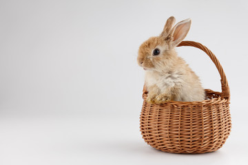 Easter bunny rabbit in basket on gray background
