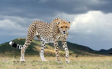 Wall Mural - Wild african cheetah, beautiful mammal animal