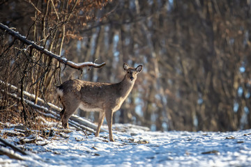 Fototapete - Deer standing at the edge of the woods