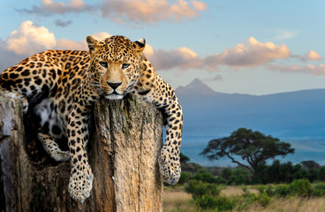 Poster Luipaard Leopard sitting on a tree