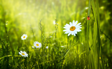 Wall Mural - Mysterious spring or summer eco background with blooming daisies chamomile flowers blossom on fresh clean green lawn and red ladybug sitting on blade of grass on a sunny day and shining light sun ray